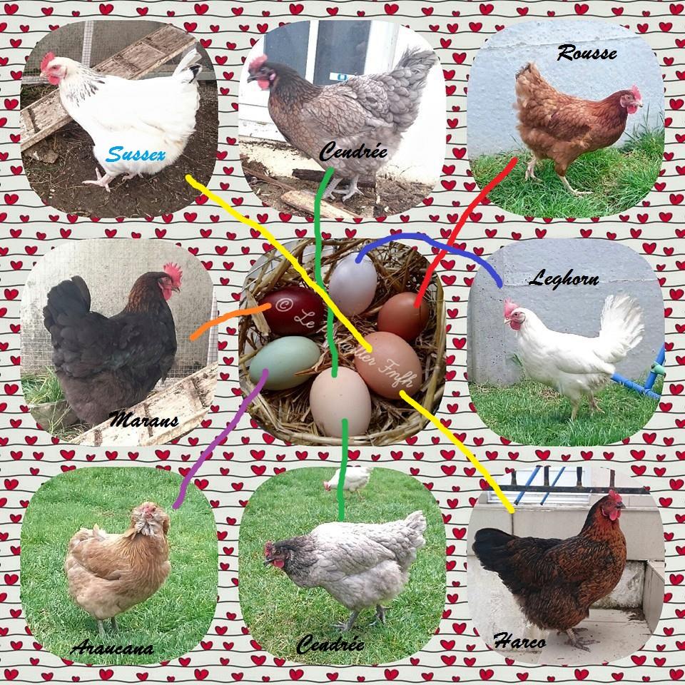 poule sussex couleur oeuf