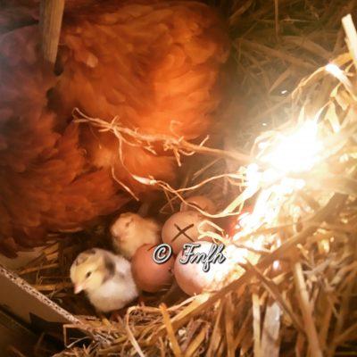 Nos premières naissances de poussins